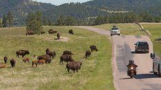 South Dakota Custer State Park | ... driving through Custer State Park, June 10, 2012, in Custer, S.D