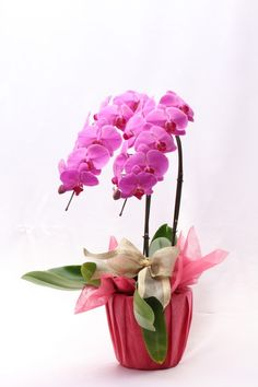Phalaenopsis Wrapped Red