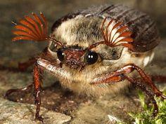 Усики майского жука