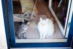 My babies <3 Mau 1 yrs / rescue cat + Haru 6 months Neva Masquerade  #rescuecat #nevamasquerade #siberiancat