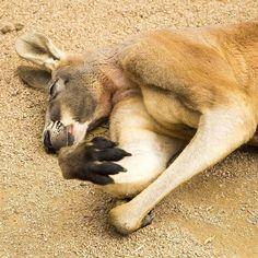 If i just shut my eyes and pretend to be asleep will Monday go away  -------------------------------------------------------- #visitgoldcoast #seeaustralia #australialovesyou #discoveraustralia #exploreaustralia #visitqueensland #igersgoldcoast #wow_australia #australia_oz #great_captures_australia #igsuper_shotz #igs_world #global_nature #ig_mood #tgif_features #nature_sultans #aussiephotos #nature_wizards #natureonly #natureaddict #currumbinsanctuary #currumbinwildlifesanctuary…