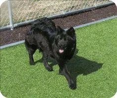 Birmingham, AL - Chow Chow/Labrador Retriever Mix. Meet Misty a Dog for Adoption - Greater Birmingham Humane Society contactus@gbhs.org