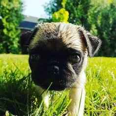 Have a nice wet weekend everybody . .  #pugslife #pug #pugs #pugsofinstagram #puppy #petstagram #follow #dog #dogsofinstagram #cutness #cutnessoverload #SookieSoFresh #follow4follow #doglover #picoftheday #pugamigo #photooftheday #pugworld #pugmodel #ilovemypugs #dailydoseofpugs #pugmatters #pugloversclub