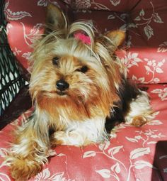 Thumblelina, beautiful Yorkshire Terrier girl needs a forever family. Available for adoption in St. Paul, Minnesota