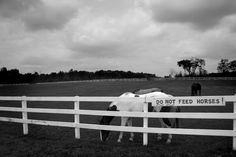 White picket fence with horses