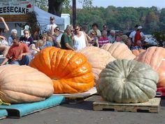 Giant pumpkins | Cute and Weird