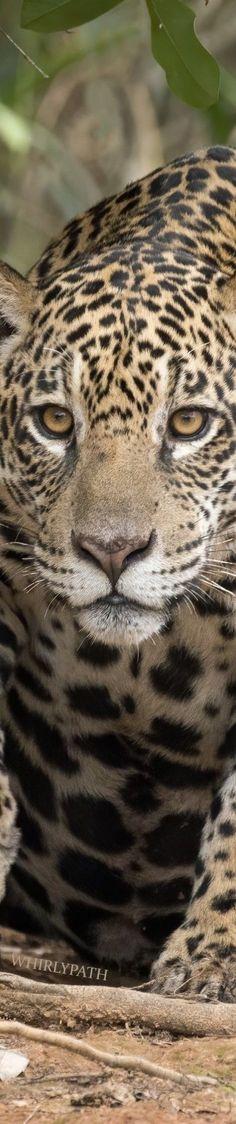 Jaguars Source:wikimedia.org Countries Around The World, Around The Worlds, Animals Of The World, Colorful Interiors, Pet Birds, Animals Beautiful, Travel Inspiration, Art Photography, Tours