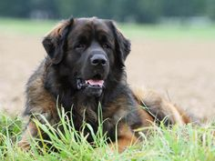 Photo chien Leonberger - 5249 - Wamiz