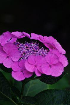 Happiness Flower   lalulutres: Hydrangea, Fukuoka, Japan