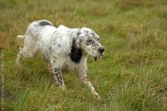 English Setters are peak performance dogs that always step up to the plate whether in competition or on the hunt. Wickedly active and highly skilled hunters, they are exceptionally friendly animals with a very gentle character.