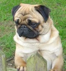 Image result for pug apricot