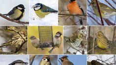 Vilka är fåglarna som samlas kring våra fröautomater och fågelbord? Här är bilder och kännetecken på de 13 vanligaste gästerna.