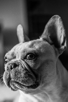 My other favorite dog breed. It's gotta be the ears. Or maybe the huffy snorting. French Bulldogs are such cute little tanks!  Limited Edition French Bulldog Tee