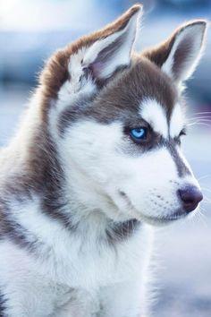 Husky une race de chien aux yeux magnifique