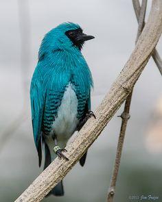 Northern Swallow Tanager - Tersina viridis