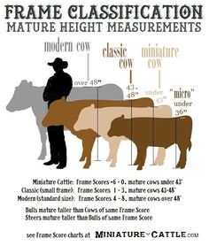 Miniature Breeds Of Cattle That Are Perfect For Small Farms Livestock Judging, Livestock Farming, Showing Livestock, Miniture Cows, Show Cattle, Cattle Barn, Cattle Ranch, Show Cows, Animals