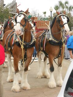 Budweiser Clydesdale Horses visiting Kemah!