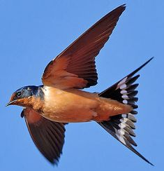 Swallow Bird in Flight  ...they returne to their home no matter where they have migrated to...:) So true :)