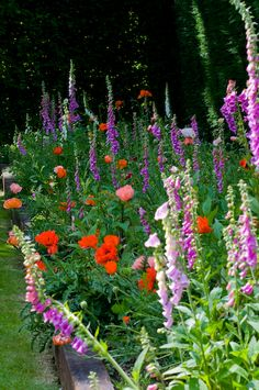 Mixed border of Oriental Poppy (Papaver orientale) and purple and white foxglove (Digitalis purpurea). Perennial garden. Spring garden.
