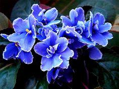 Violetas africanas                                                       …