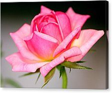Rosey Pink Canvas Print by Karen M Scovill