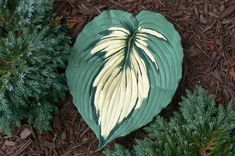 A 13 x 10 concrete casting of a Hosta leaf Cement Art, Painting Concrete, Concrete Crafts, Concrete Art, Concrete Projects, Concrete Garden, Concrete Planters, Clay Projects, Garden Deco