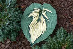 A 13 x 10 concrete casting of a Hosta leaf.  Realistic, detailed paint.