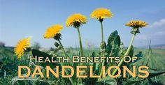 Learn about the health benefits of dandelion roots and leaves. Dandelion can…