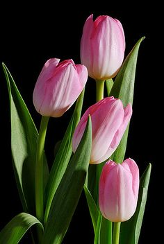 Fantastic Photo bunga Tulip Strategies Very long reside the tulip ! Place this kind of vibrant colored special place now for a pleasant ex - Die geheime Welt der Pflanzen (Die Eroberer der Welt)