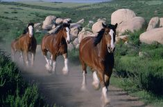 Budweiser Clydesdales follow the leader
