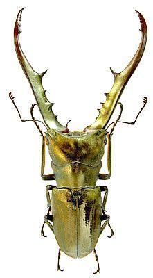 Cyclommatus metallifer Boisduval, 1832 (Lucanidae) Indonesia, Sulawesi I.