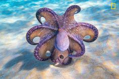 This gorgeous marine shot was taken by Ernie Black. He explained: 'I have photographed the Hawaiian daytime octopus on multiple occasions and have never seen anything like this'