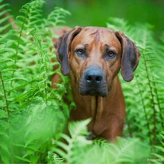 Rhodesian Ridgeback - Strong Willed, Intelligent, Mischievous, Loyal, Dignified and Sensitive