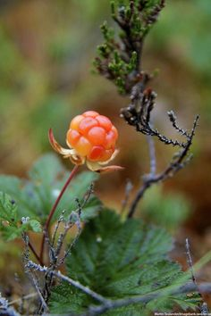 """""""The cloudberry can be cultivated in the Arctic where few other crops are possible, a rare northern delicacy. Sweden Travel, Swedish Recipes, Lappland, Photos, Pictures, Mother Nature, Art Decor, Scandinavian, Exotic"""