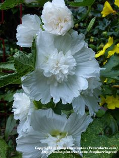 Miniature Hollyhocks, these areonly about 2.5 feet tall