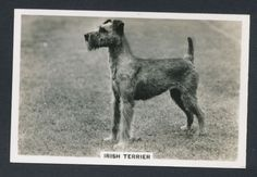 Irish Terrier from series Dogs by Senior Service Cigarettes card #40