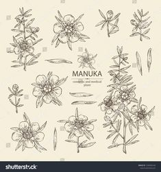 Find Collection Manuka Leaves Flowers Manuka Cosmetic stock images in HD and millions of other royalty-free stock photos, illustrations and vectors in the Shutterstock collection. Thousands of new, high-quality pictures added every day. Leaf Flowers, Small Flowers, Vintage Embroidery, Embroidery Patterns, Landscaping Logo, Honey Logo, Floral Drawing, Manuka Honey, Board Art