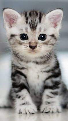 Cute cats and kittens lover, know and read here about your cute cats, cute kittens, newborn kittens, and cute baby cats. Cute Baby Cats, Cute Kittens, Kittens And Puppies, Cute Baby Animals, Cats And Kittens, Bengal Kittens, Best Cat Breeds, American Shorthair Cat