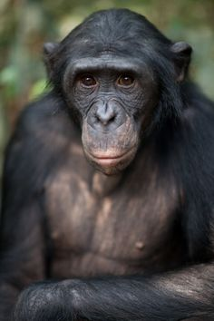 "Bonobo: ""The bonobo was the last of the great apes to be discovered and, together with the chimpanzee, it is our closest living relative. They are found only in the Democratic Republic of the Congo in central Africa, inhabiting a low-lying basin enclosed between the River Zaire, the River Sankuru-Kasai and the River Lualaba."" 100 Animals To See Before They Die www.bradtguides.com"