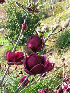 Type of tulip magnolia