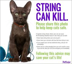 Cat Care Kittens Cats and string don't mix well. Remember these toy options to keep your cat busy and safe. - Everything you need to know about how to adopt a cat, bringing your new cat home, cat health and care and more! Crazy Cat Lady, Crazy Cats, Amor Animal, Cat Info, Gatos Cats, All About Cats, Cat Facts, Look At You, Pet Care