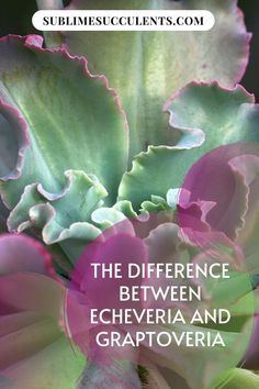 Check the differences between echeveria and graptoveria. At first glance, they can look quite similar, but there are a few key differences. There are plenty of similarities, however, so it's easy to understand why so many people mix them up. When it comes to identifying plants, paying attention to the details is essential.  #echeveria #graptoveria #gardening Cacti And Succulents, Cactus Plants, The More You Know, How To Find Out, Succulent Species, Identify Plant, Succulent Care, Types Of Plants, Echeveria