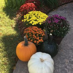 For the perfect late-season bloomer, you can't go wrong with fall mums! Get tips to selecting the right variety, planting, growing, and enjoying this fall favorite. Fall Mums, Outdoor Flowers, Fall Flowers, Chrysanthemum, Garden Tips, Flower Beds, Pansies, Color Combos, Planting