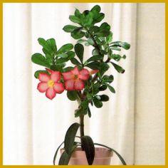 #Wüstenrose, wunderschöne #Trichterblüten, weißlich-rosa mit gelbem Schlund.  Im Winter sieht die Wüstenrose recht kahl aus, im Frühjahr aber-und mit etwas Glück ein zweites Mal im Herbst- bekommt diese #Sukkulente wunderschöne, Blüten.  http://www.gartenschlumpf.de/wuestenrose/