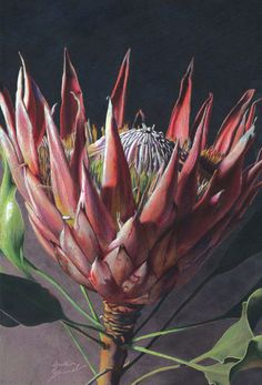 Protea Blossom By Greta Schimmel On As Poster Or Art Print Biomedical Illustration November, 2008 Bw Prismacolor Markers On Toned Canson Paper Colored With Prismacolor Pencils. Protea Art, Protea Flower, Abstract Flowers, Watercolor Flowers, Watercolor Art, Picture Transfer To Wood, Australian Native Flowers, Color Pencil Art, Trees To Plant