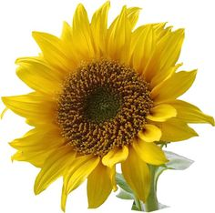 Beautiful Sunflowers Clipart Images http://clipart-free.org/beautiful-sunflowers-clipart-images/