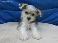 So cute!! #Morkie