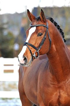 CARRICO Holsteiner stallion