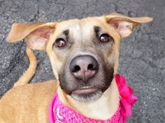 Manhattan Center HESTIA – A1037610 FEMALE, BROWN, SALUKI MIX, 1 yr, 6 mos STRAY – STRAY WAIT, NO HOLD Reason STRAY Intake condition EXAM REQ Intake Date 05/26/2015