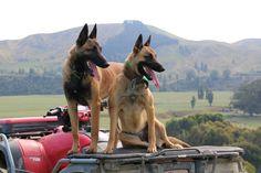 Nordenstamm Chief (Nordenstamm Kaos x Lilo v.d. Kraehenschmiede) + Nordenstamm Aruba exp. NZ, BH  (Nordenstamm Tex x Nordenstamm Sanka) - working farm dogs New Zealand. Bred by Nordenstamm Malinois - Gold Coast